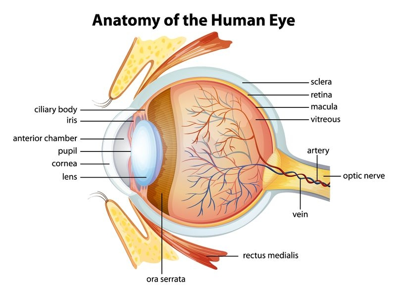 anatomy-human-eye